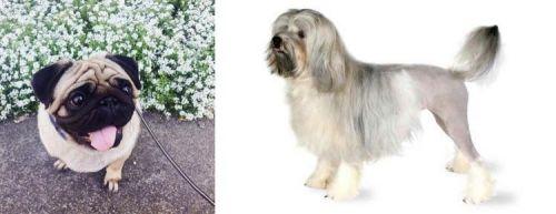 Pug vs Lowchen