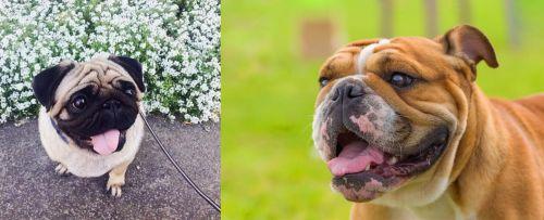 Pug vs Miniature English Bulldog