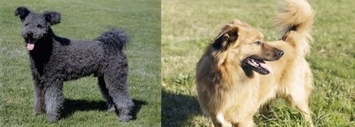 Pumi vs Basque Shepherd