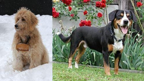 Pyredoodle vs Entlebucher Mountain Dog