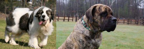 Pyrenean Mastiff vs American Mastiff