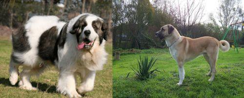 Pyrenean Mastiff vs Anatolian Shepherd