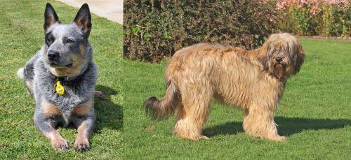 Queensland Heeler vs Catalan Sheepdog