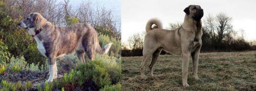 Rafeiro do Alentejo vs Kangal Dog