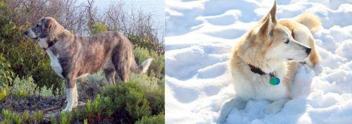 Rafeiro do Alentejo vs Labrador Husky