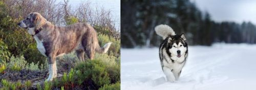 Rafeiro do Alentejo vs Siberian Husky