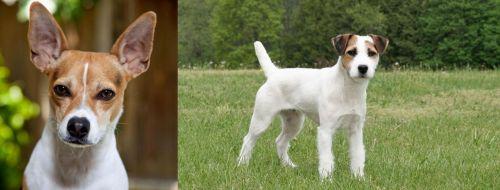 Rat Terrier vs Jack Russell Terrier