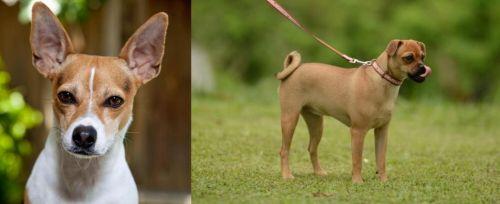 Rat Terrier vs Muggin