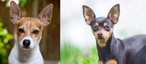 Rat Terrier vs Prazsky Krysarik