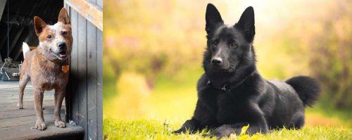 Red Heeler vs Black Norwegian Elkhound