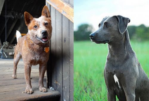 Red Heeler vs Blue Lacy