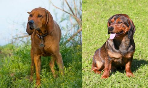 Redbone Coonhound vs Alpine Dachsbracke
