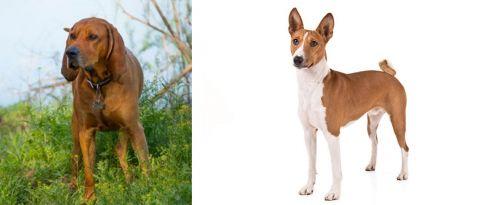 Redbone Coonhound vs Basenji