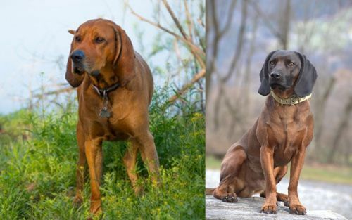Redbone Coonhound vs Bavarian Mountain Hound