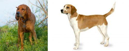 Redbone Coonhound vs Harrier
