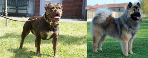 Renascence Bulldogge vs Eurasier