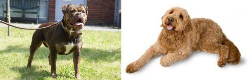 Renascence Bulldogge vs Golden Doodle