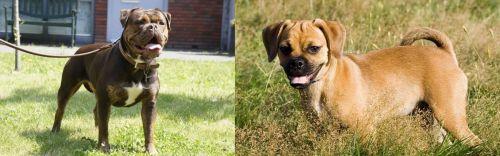 Renascence Bulldogge vs Puggle