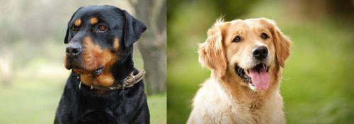 Rottweiler vs Golden Retriever