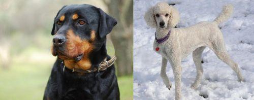Rottweiler vs Poodle