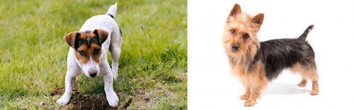 Russell Terrier vs Australian Terrier