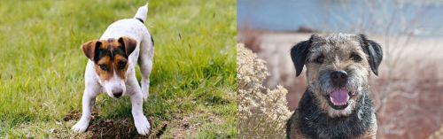 Russell Terrier vs Border Terrier