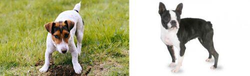 Russell Terrier vs Boston Terrier