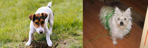 Russell Terrier vs Cairland Terrier