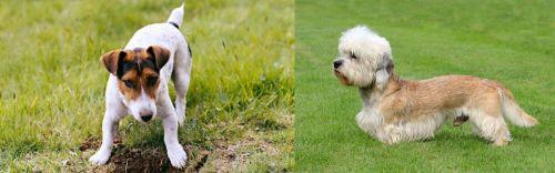 Russell Terrier vs Dandie Dinmont Terrier