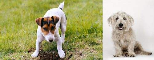 Russell Terrier vs Glen of Imaal Terrier