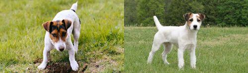 Russell Terrier vs Jack Russell Terrier