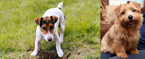 Russell Terrier vs Norfolk Terrier