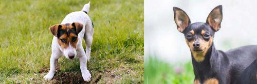 Russell Terrier vs Prazsky Krysarik