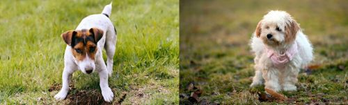 Russell Terrier vs West Highland White Terrier