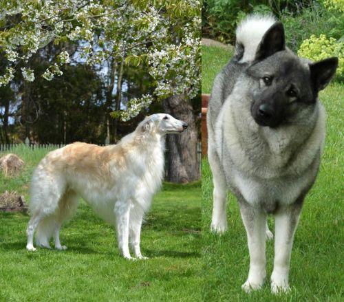 Russian Hound vs Norwegian Elkhound