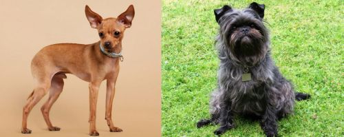 Russian Toy Terrier vs Affenpinscher