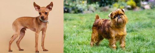 Russian Toy Terrier vs Brussels Griffon