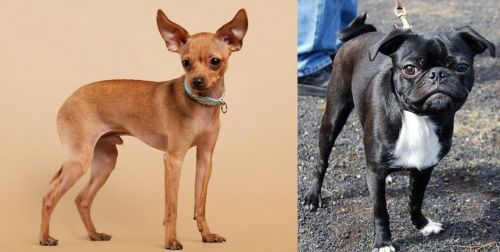 Russian Toy Terrier vs Bugg