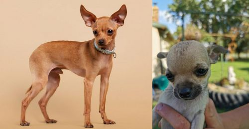 Russian Toy Terrier vs Chihuahua