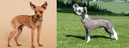 Russian Toy Terrier vs Chinese Crested Dog