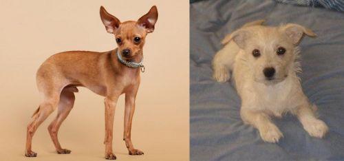 Russian Toy Terrier vs Chipoo
