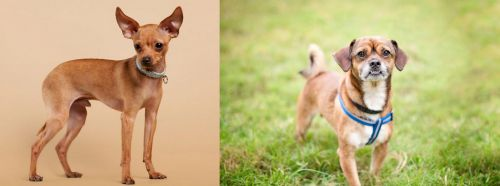 Russian Toy Terrier vs Chug