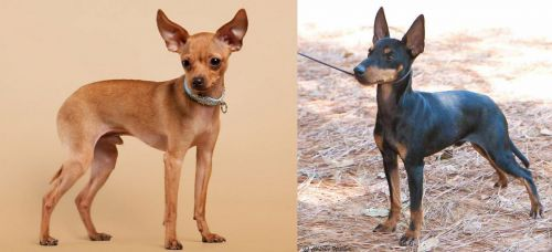Russian Toy Terrier vs English Toy Terrier (Black & Tan)