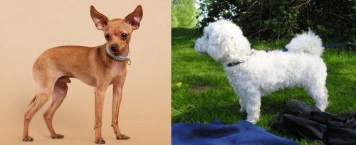 Russian Toy Terrier vs Franzuskaya Bolonka