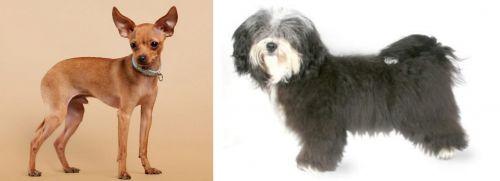 Russian Toy Terrier vs Havanese