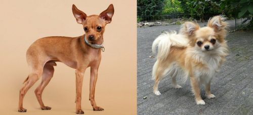 Russian Toy Terrier vs Long Haired Chihuahua