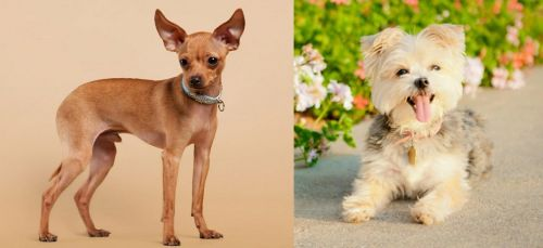 Russian Toy Terrier vs Morkie