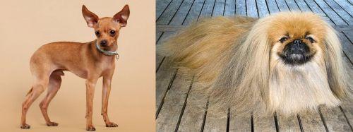 Russian Toy Terrier vs Pekingese
