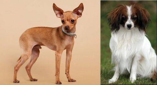 Russian Toy Terrier vs Phalene