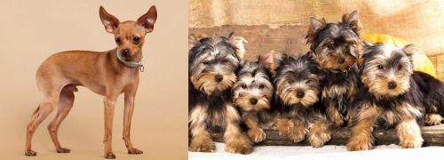 Russian Toy Terrier vs Yorkshire Terrier